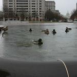 Ducks in a fountain
