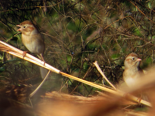 Field Sparrows (eBird record shot) | by magnificentfrigatebird