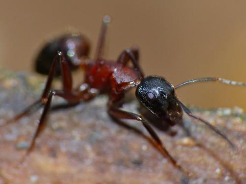 Carpenter Ant (Camponotus ligniperdus) | by berniedup