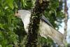 Grey Goshawk (Accipiter novaehollandiae) by max_the_greathk