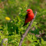 Scarlet Tanager male