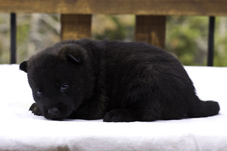 Haru-Litter4-Day20-Puppy3-Male-c | by brada1878