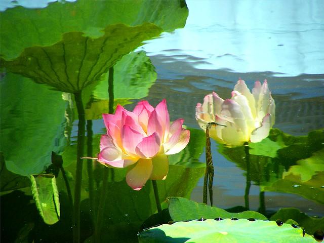 Virtual Lotus