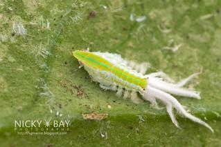 Planthopper nymph (Salurnis marginella) - DSC_1939