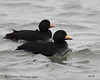 Black Scoter by AndrewWood15101