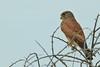 Falco rupicolus by Dindingwe