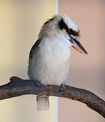 zoo texas kingfisher kookaburra brownsville dacelonovaeguineae gladysporterzoo nikond7000 nikkor18to200mmvrlens