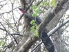 Crested Guan (Penelope purpurascens) by Mateo Gable