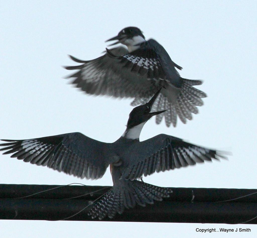 1-Kingfishers..Jackson 07-16-2013 052