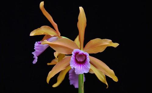 Laelia tenebrosa 'Bronze Beauty' AM/AOS