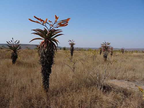 nature landscape succulent mozambique taxonomy:binomial=aloemarlothii
