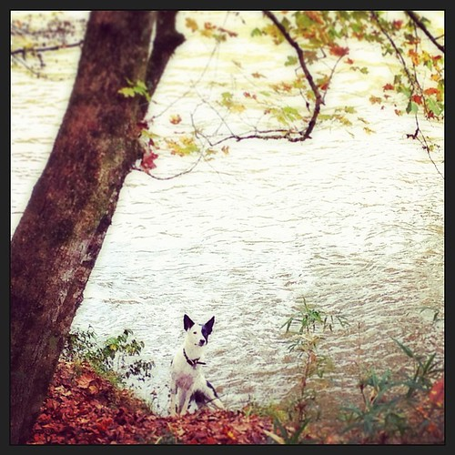 Kate's all about the river. Even if it is cold.   by aussomedogs