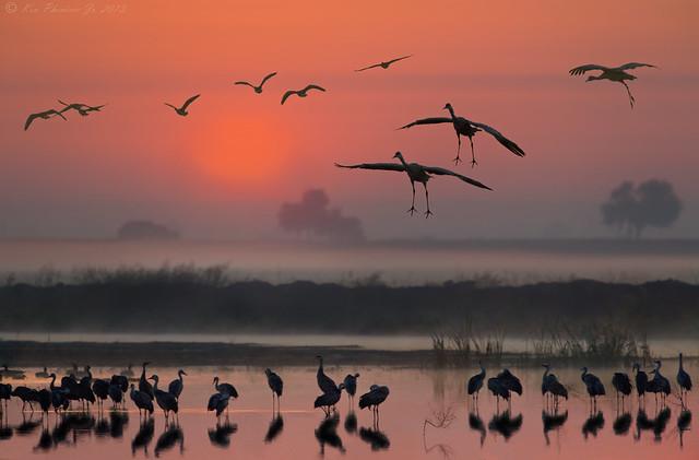 Sandhill Cranes Sunrise