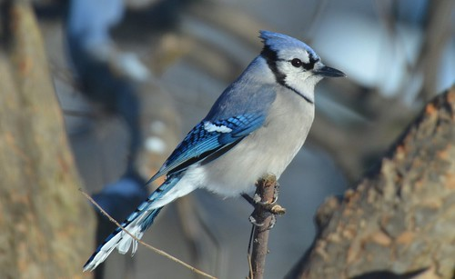 blue winter portrait snow detail nature birds jay feathers aves bluejay gleam feedertree jennypansing