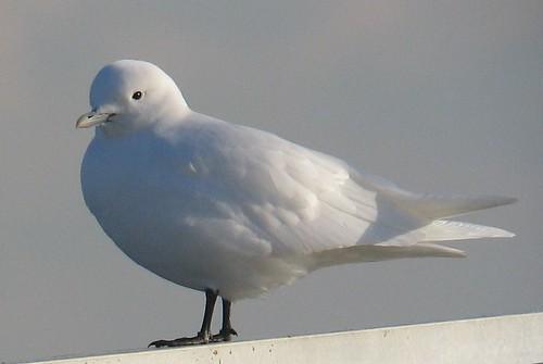 bird rare pagophilaeburnea whitegull