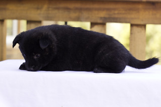 Kumi-Litter4-Day30-Puppy2-Female4 | by brada1878