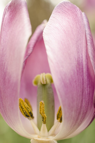 may282014 2014 2014inphotos ottawa ontario canada nikon d7000 nikond7000 40mm bokeh tones purple macro 2minutemacro yellow pollen lines curves flower floral tulip vibrant petals nature mothernature flashfix flashfixphotography