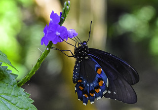 Pipevine Swallowtail Butterfly | by Charles Patrick Ewing