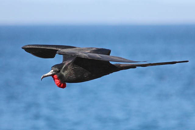 North Seymour Island, Frigatebird