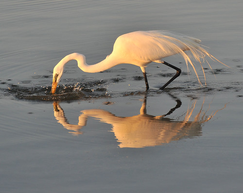 nature birds greategret egrets shorebirds marcoisland tigertail floridabirds tigertailbeach