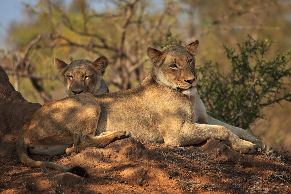 Image: Sooky Lionesses on the Mound
