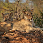 Sooky Lionesses on the Mound