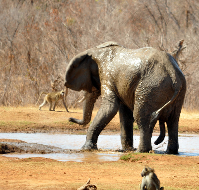 Elephant bull, Loxodonta, Ivory Lodge, Hwange, Zimbabwe