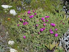 Lampranthus vernalis in habitat