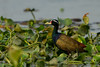 Bronze-Winged Jacana by rracine1