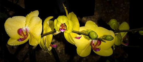 orchid macro closeup nikon longwoodgardens d5100
