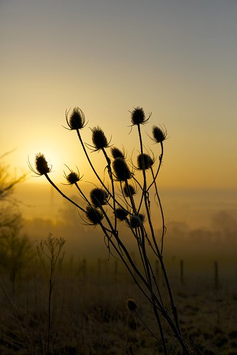 teasel teazle thistle sun sunrise sunlight dawn alba sole flower fiore