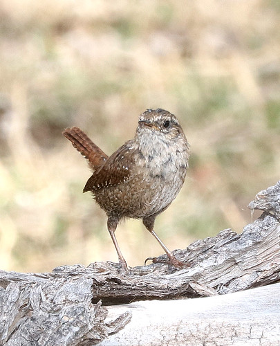 694 - WINTER WREN (2-12-2017) patagonia lake, santa cruz co, az -01c