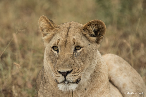 One of the five lionesses destined for Akagera National Park. Credit: Matthew Poole | by rdbrwanda