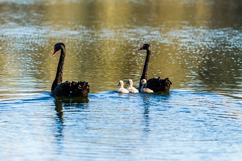 Swan family. | by robwill4