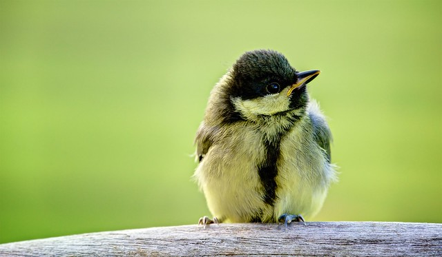 'Can you tell me where the nearest branch is?' - Juvenile Great Tit.