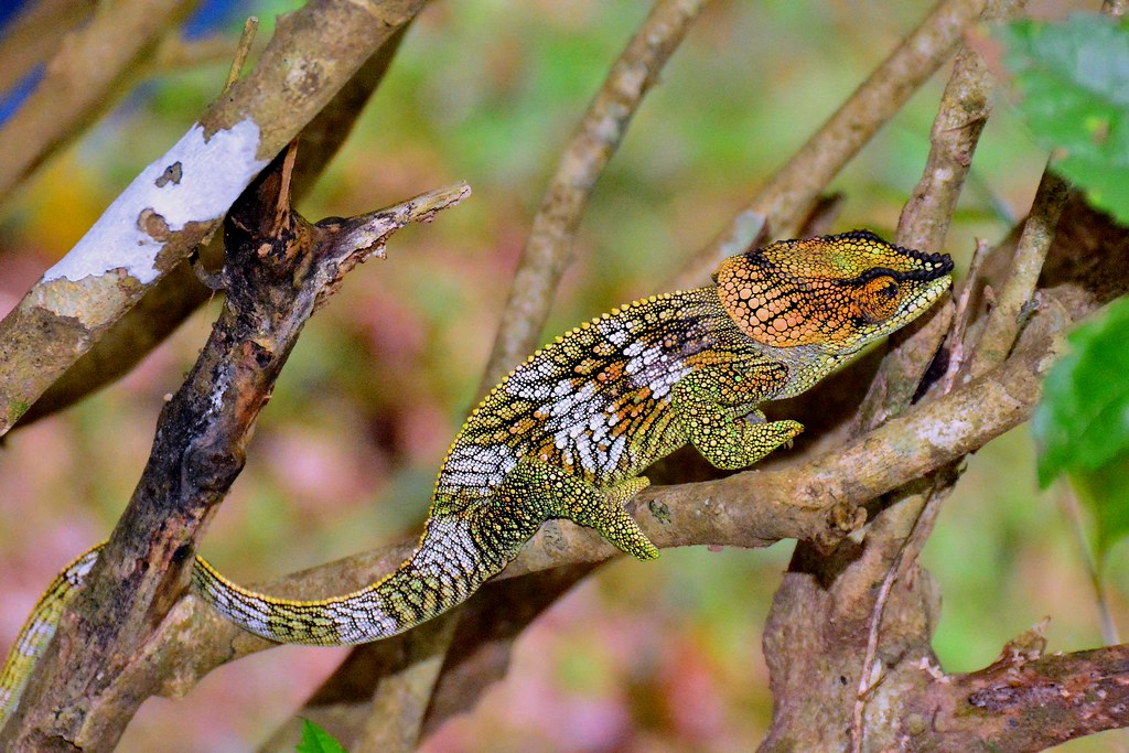 """Elephant-eared Chameleon"" (Calumma amber) found at Amber Mountain National Park, North Madagascar."