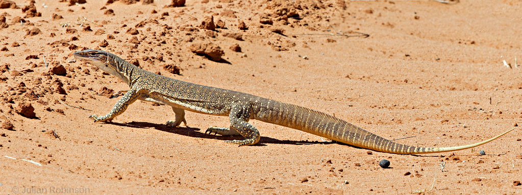 Sand Goanna | Large and surpisingly fast as they cross the r