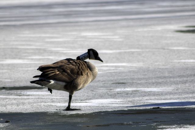 Branta canadensis, City Lake, Cookeville, Tennessee