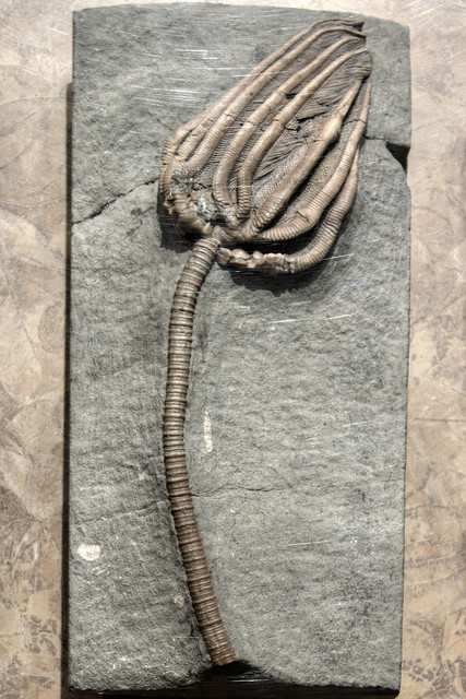 Agaricocrinites sp. fossil, McClung Museum, Knoxville, Tennessee
