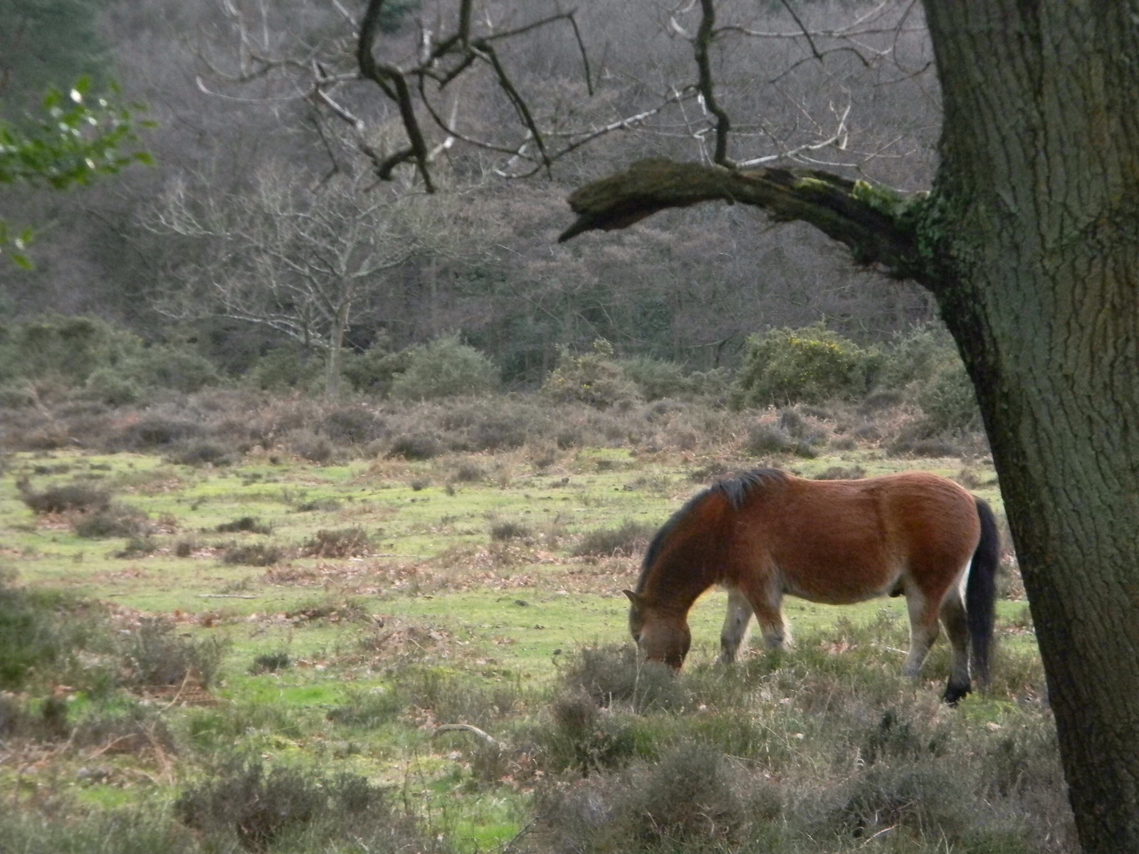 Punchbowl pony Exmoor ponies are grazing the Devil's Punchbowl Milford to Haslemere