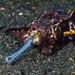 Calamares - Photo (c) Christian Gloor, algunos derechos reservados (CC BY)