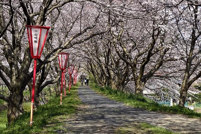 Cherry Blossom at Izumo