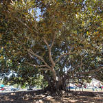 Moreton Bay Fig Tree, Balboa Park