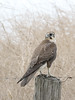 Brown Falcon (Falco berigora) by patrickkavanagh