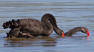 Black Swan-6001 | by rawshorty