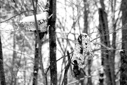 winter tree wisconsin forest blackwhite birch landolakes