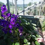 Violet plants at Wave Hill