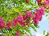 "Robinia hispida,Robinia rosa (3) by pilarperezpelegay ""2"""