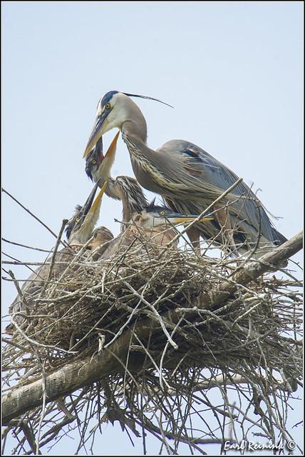 Great Blue Heron (30615-2423)