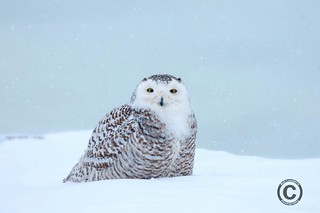 Snowy | by Rob Lonsberry Photography